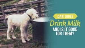 Can Dogs Drink Milk and Is it Good for Them?
