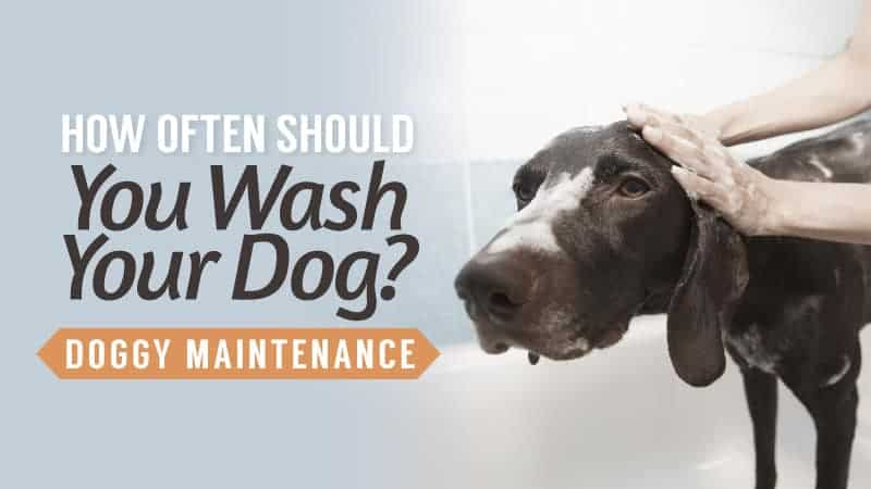 How Often Should You Wash Your Dog: Doggy Maintenance