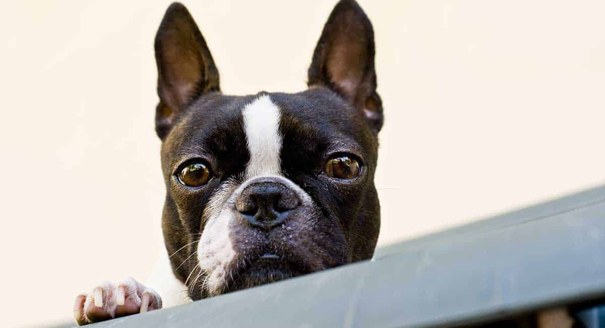 History of Boston Terrier