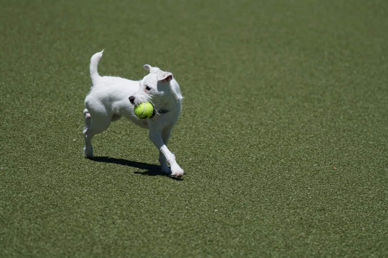 white short coated dog with ball