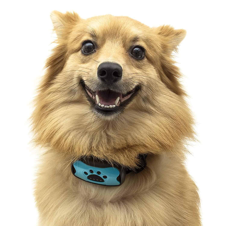 dog wearing a trainging collar