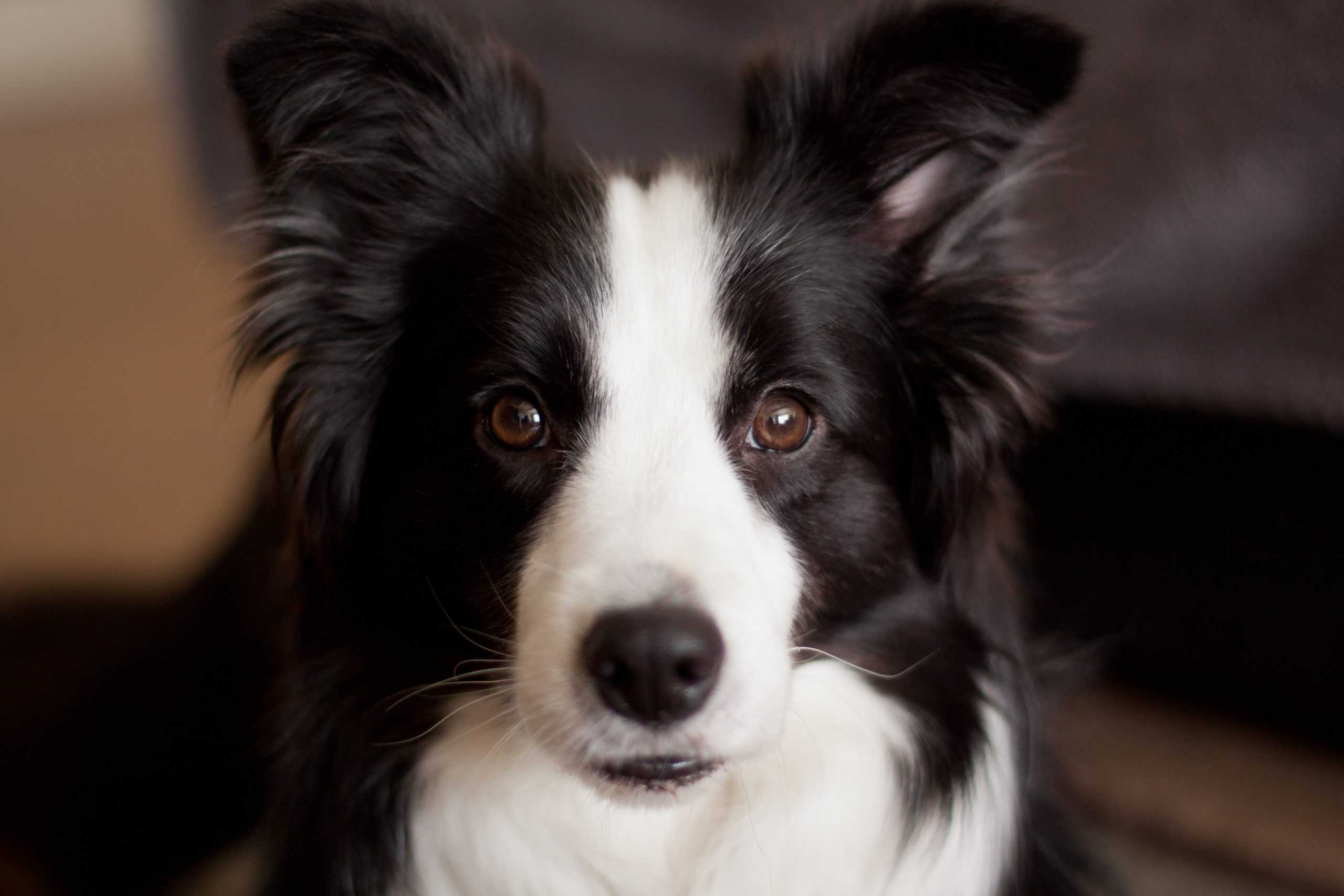 Dogs Border Collie breed