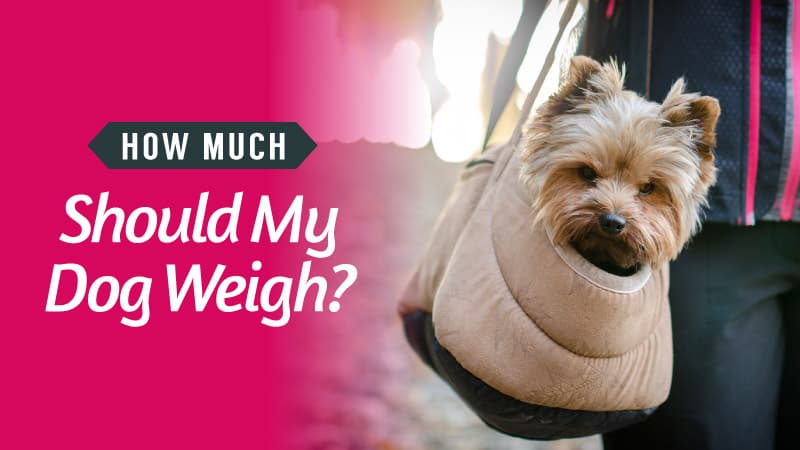 How-Much-Should-My-Dog-Weigh