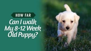 How-Far-Can-I-walk-My-8-12-Week-Old-Puppy