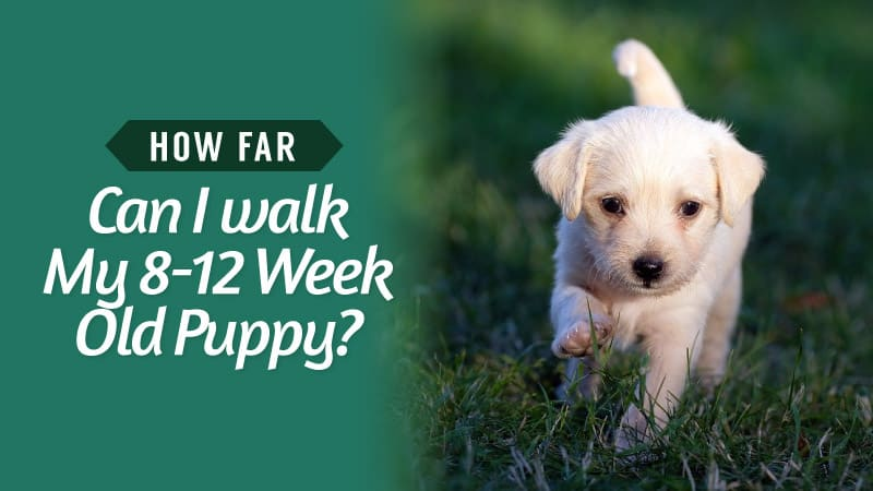 How-Far-Can-I-walk-My-8-12-Week-Old-Puppy