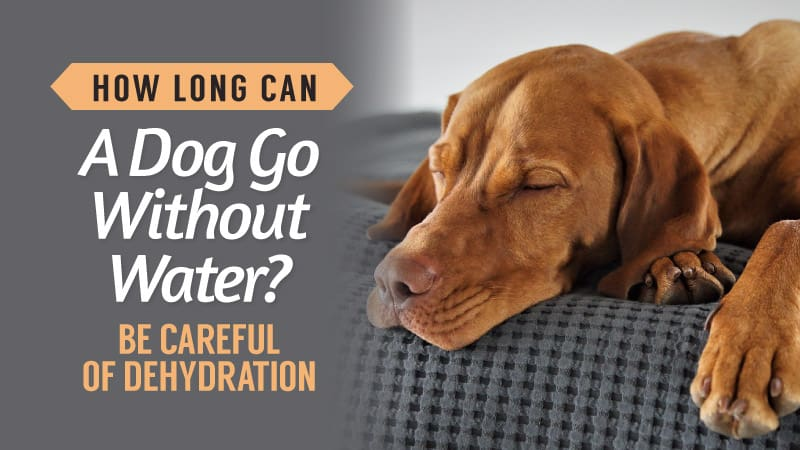 How-Long-Can-A-Dog-Go-Without-Water-Be-Careful-Of-Dehydration