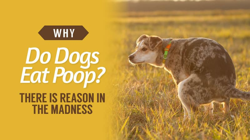 Why-Do-Dogs-Eat-Poop-There-Is-Reason-In-The-Madness